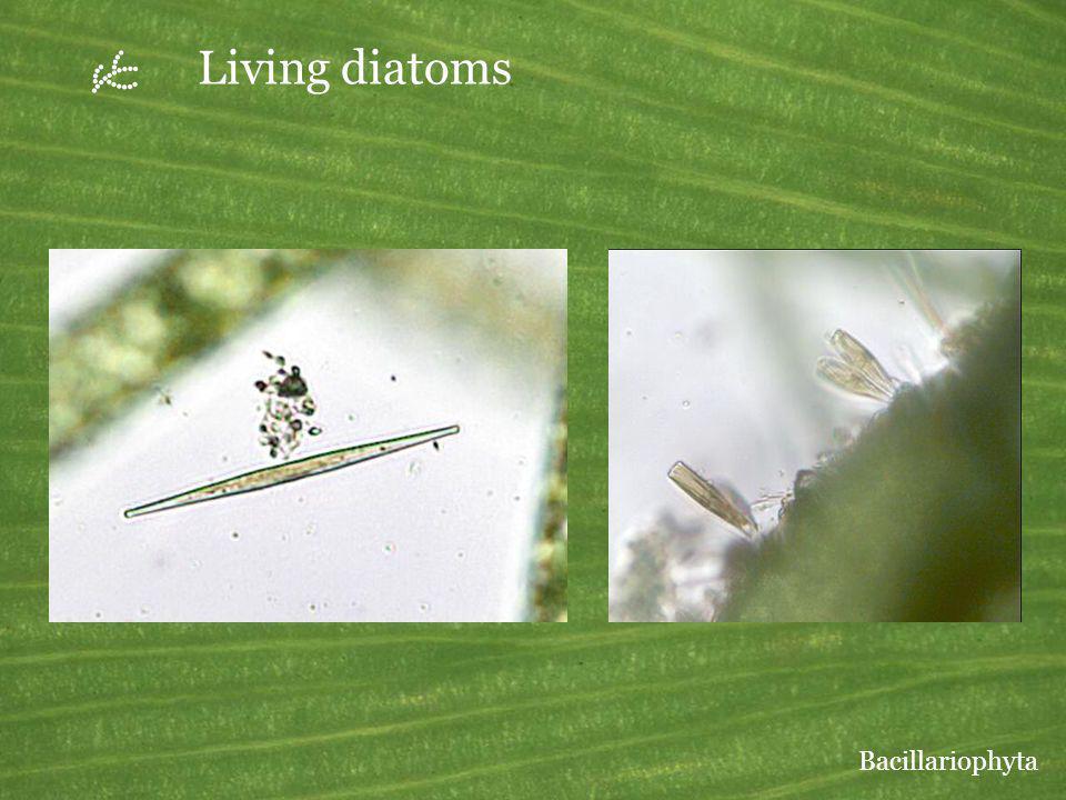 Living diatoms Bacillariophyta