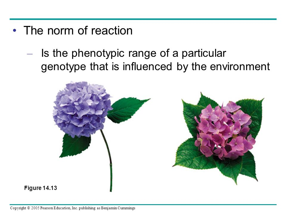 Copyright © 2005 Pearson Education, Inc. publishing as Benjamin Cummings The norm of reaction – Is the phenotypic range of a particular genotype that