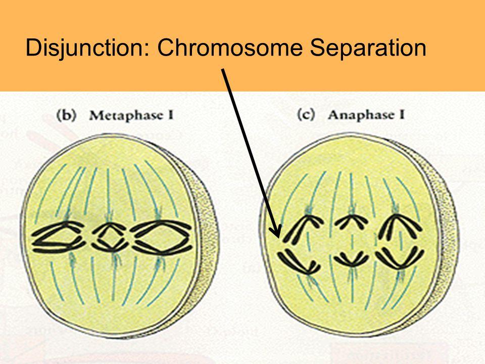 Disjunction: Chromosome Separation