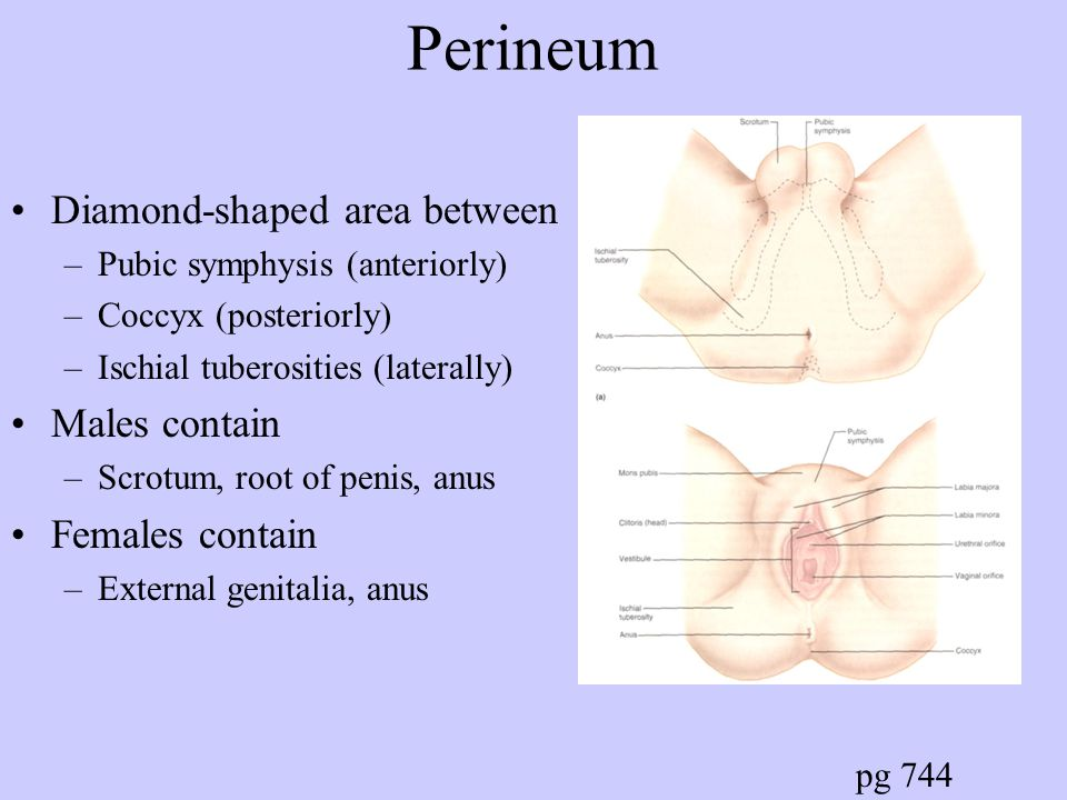 Penis (continued) Arterial Supply = branches of Internal Pudendal (branch of internal iliac) Innervation = branches of Pudendal (from sacral plexus) provide sensory –Parasympathetic: engorgement of blood in erectile bodies = erection –Sympathetic: contraction of smooth muscle in ducts and glands and bulbospongiosum m = ejaculation –Above Autonomic from inferior hypogastric plexus
