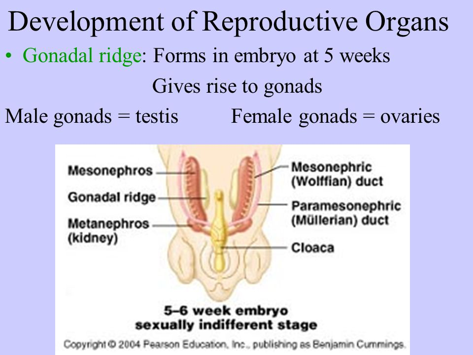 Female Reproductive System Primary Sex Organs –Ovaries = gonads Accessory Sex Organs –External Genitalia = vulva Labia major + minor Mons pubis Clitoris –Ducts Uterine tube = oviducts Vagina –Glands Greater vestibular gland pg 684