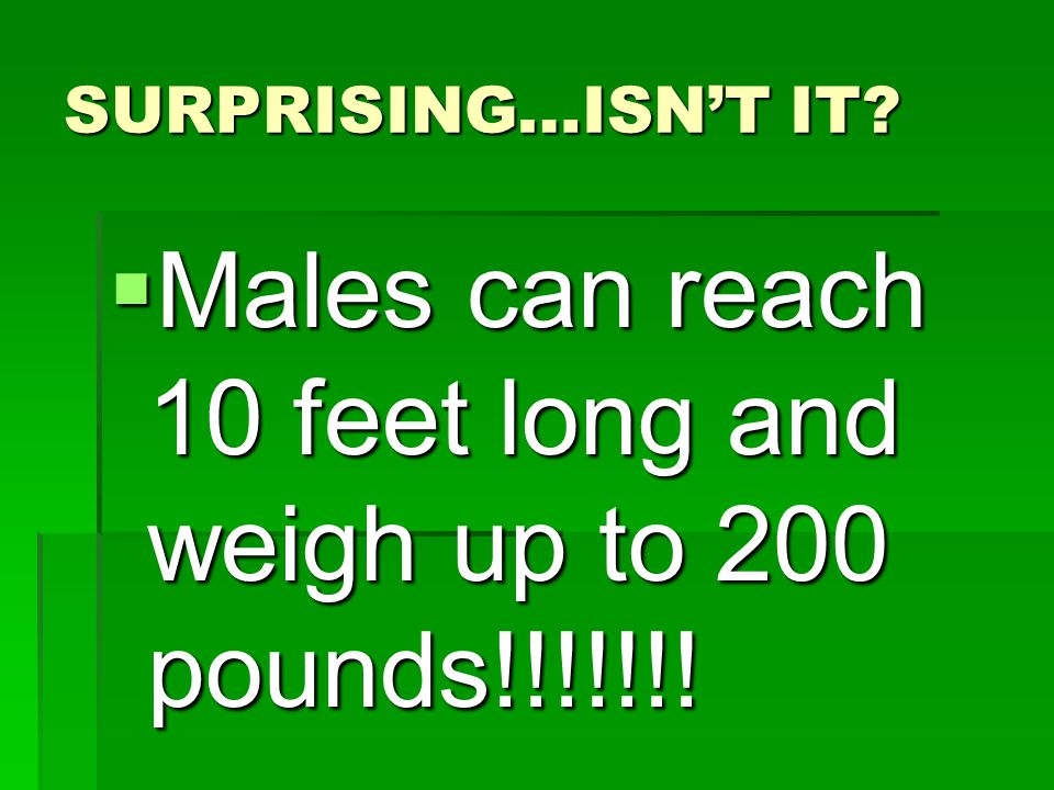SURPRISING…ISNT IT Males can reach 10 feet long and weigh up to 200 pounds!!!!!!!