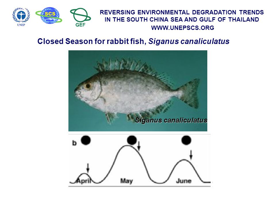 REVERSING ENVIRONMENTAL DEGRADATION TRENDS IN THE SOUTH CHINA SEA AND GULF OF THAILAND WWW.UNEPSCS.ORG Siganus canaliculatus Closed Season for rabbit