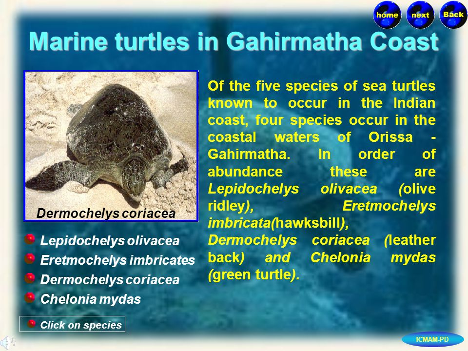 ICMAM-PD Marine turtles in Gahirmatha Coast Click on species Dermochelys coriacea Eretmochelys imbricates Dermochelys coriacea Chelonia mydas Lepidochelys olivacea Of the five species of sea turtles known to occur in the Indian coast, four species occur in the coastal waters of Orissa - Gahirmatha.