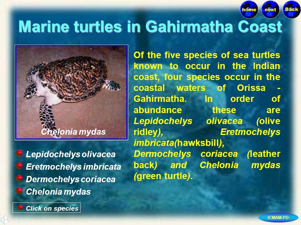 ICMAM-PD Marine turtles in Gahirmatha Coast Click on species Chelonia mydas Eretmochelys imbricata Dermochelys coriacea Chelonia mydas Lepidochelys olivacea Of the five species of sea turtles known to occur in the Indian coast, four species occur in the coastal waters of Orissa - Gahirmatha.