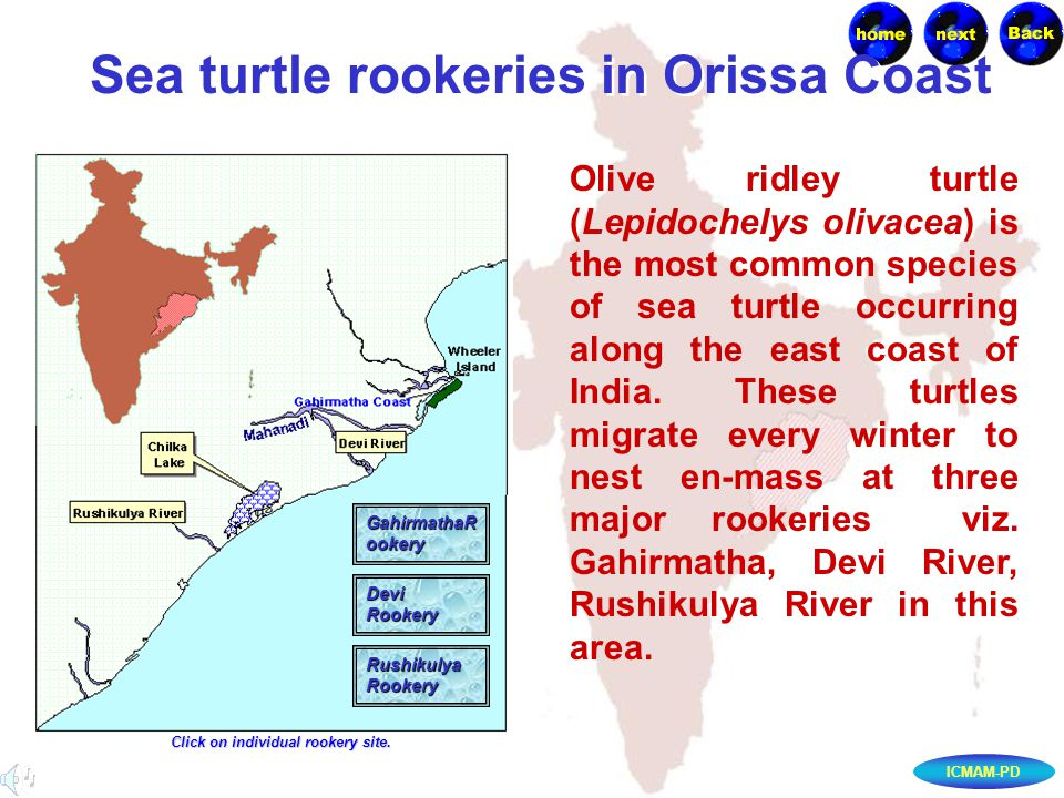 ICMAM-PD Sea turtle rookeries in Orissa Coast Olive ridley turtle (Lepidochelys olivacea) is the most common species of sea turtle occurring along the