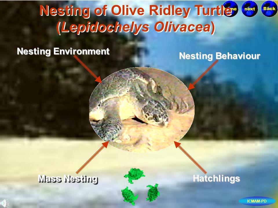 ICMAM-PD Nesting of Olive Ridley Turtle (Lepidochelys Olivacea) Nesting of Olive Ridley Turtle (Lepidochelys Olivacea) Nesting Environment Nesting Environment Nesting Behaviour Nesting Behaviour Hatchlings Mass Nesting Mass Nesting Mass Nesting Mass Nesting