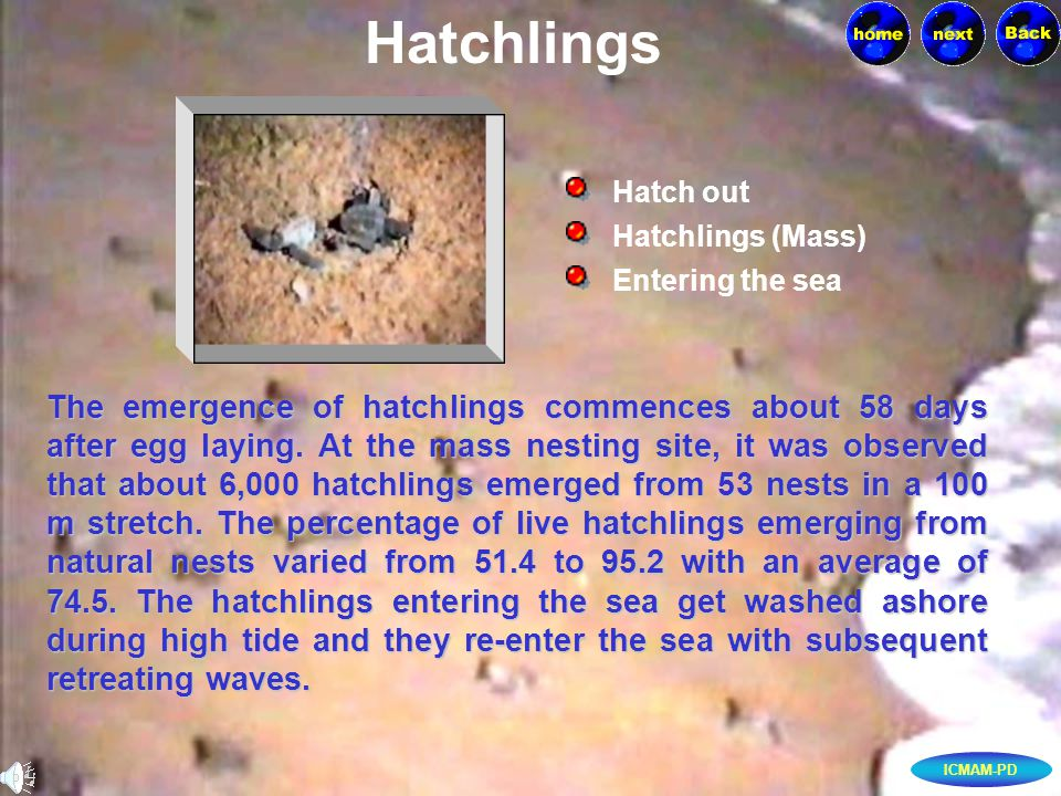 ICMAM-PD The emergence of hatchlings commences about 58 days after egg laying.