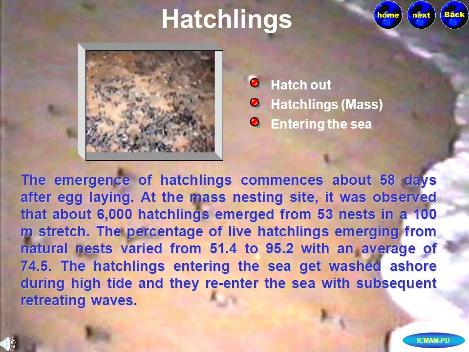 ICMAM-PD Hatchlings Hatchlings (Mass) Hatch out Entering the sea The emergence of hatchlings commences about 58 days after egg laying.