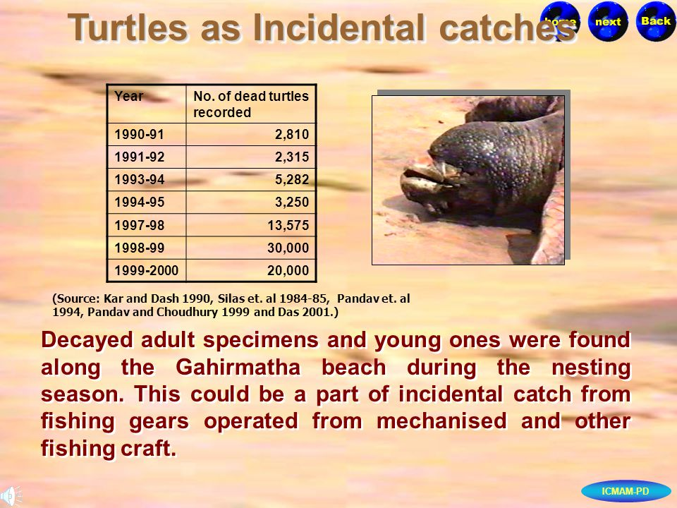 ICMAM-PD Turtles as Incidental catches Decayed adult specimens and young ones were found along the Gahirmatha beach during the nesting season. This co