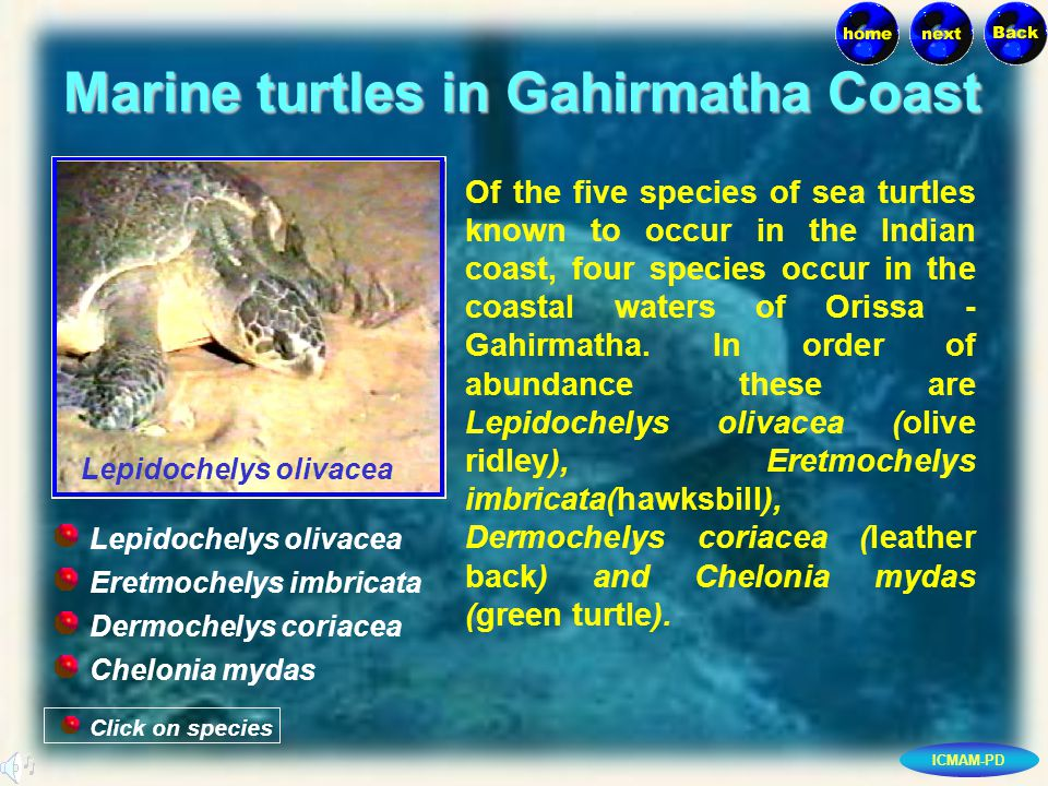 ICMAM-PD Marine turtles in Gahirmatha Coast Of the five species of sea turtles known to occur in the Indian coast, four species occur in the coastal waters of Orissa - Gahirmatha.