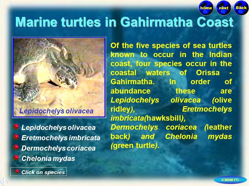 ICMAM-PD Marine turtles in Gahirmatha Coast Of the five species of sea turtles known to occur in the Indian coast, four species occur in the coastal waters of Orissa - Gahirmatha.