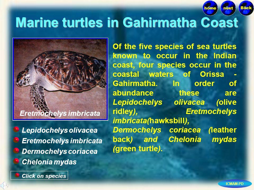 ICMAM-PD Marine turtles in Gahirmatha Coast Click on species Eretmochelys imbricata Dermochelys coriacea Chelonia mydas Lepidochelys olivacea Of the five species of sea turtles known to occur in the Indian coast, four species occur in the coastal waters of Orissa - Gahirmatha.