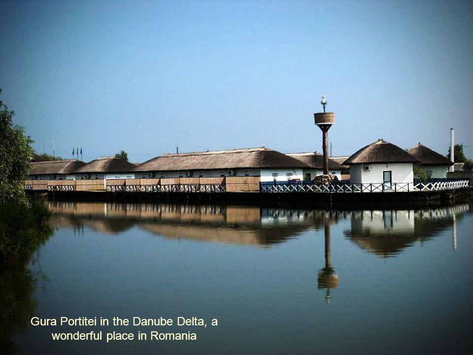 Swan from Danube Delta
