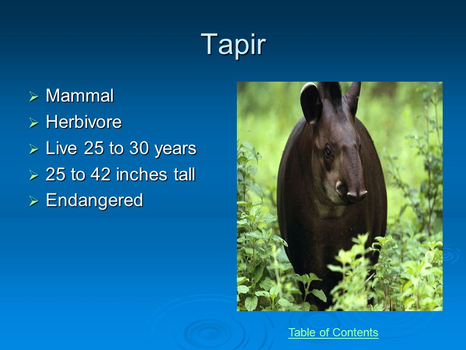 Tapir Mammal Mammal Herbivore Herbivore Live 25 to 30 years Live 25 to 30 years 25 to 42 inches tall 25 to 42 inches tall Endangered Endangered Table of Contents