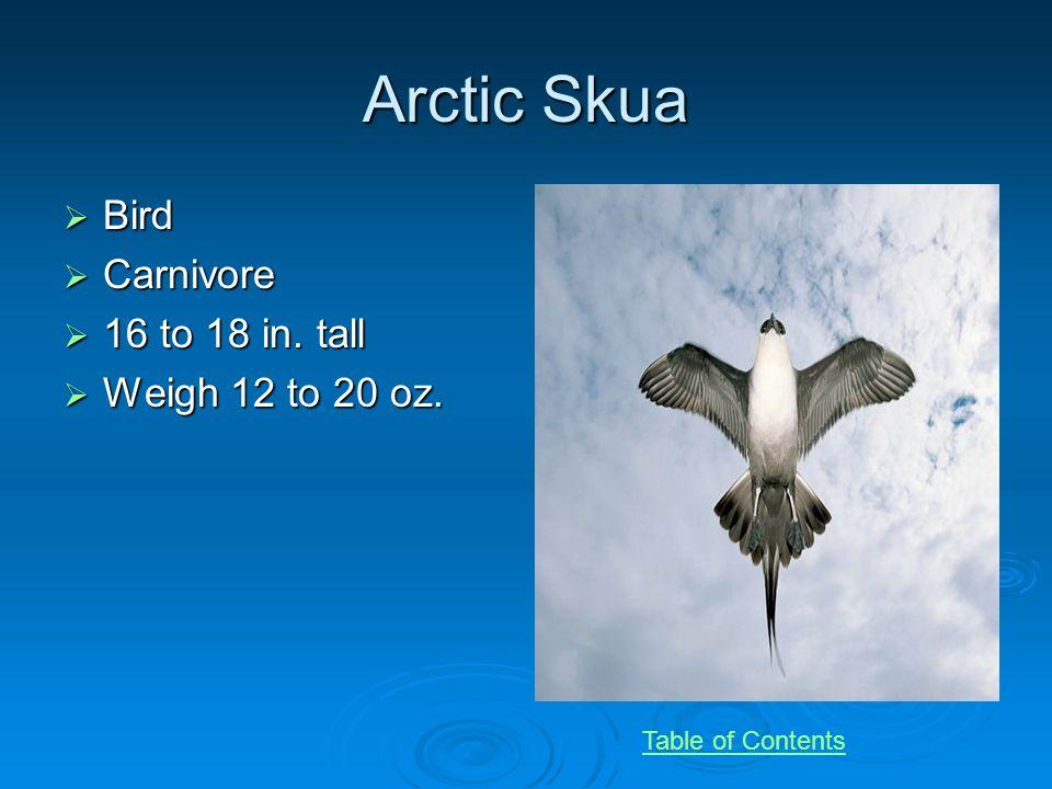 Arctic Skua Bird Bird Carnivore Carnivore 16 to 18 in.