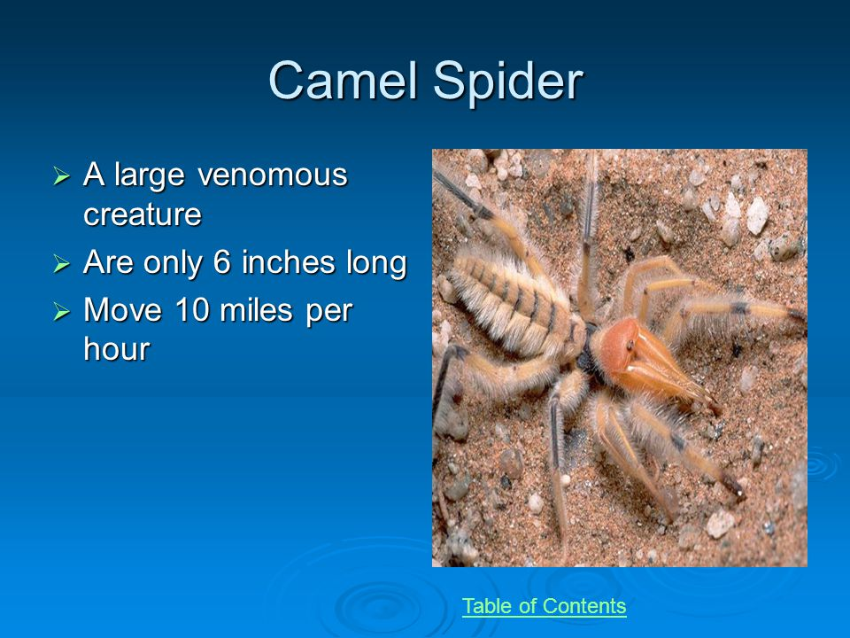 Camel Spider A large venomous creature A large venomous creature Are only 6 inches long Are only 6 inches long Move 10 miles per hour Move 10 miles per hour Table of Contents
