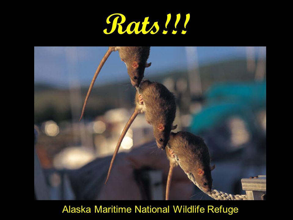 Rats!!! Alaska Maritime National Wildlife Refuge