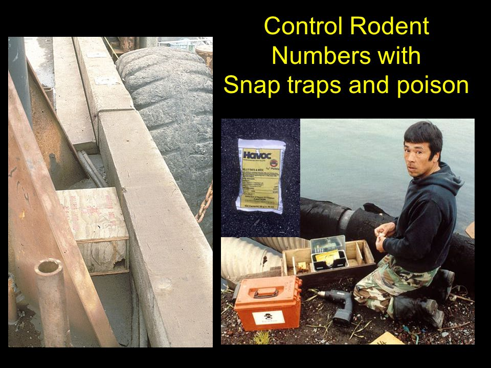 Control Rodent Numbers with Snap traps and poison