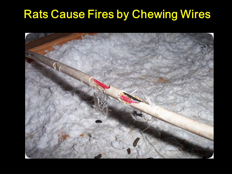 Rats Cause Fires by Chewing Wires