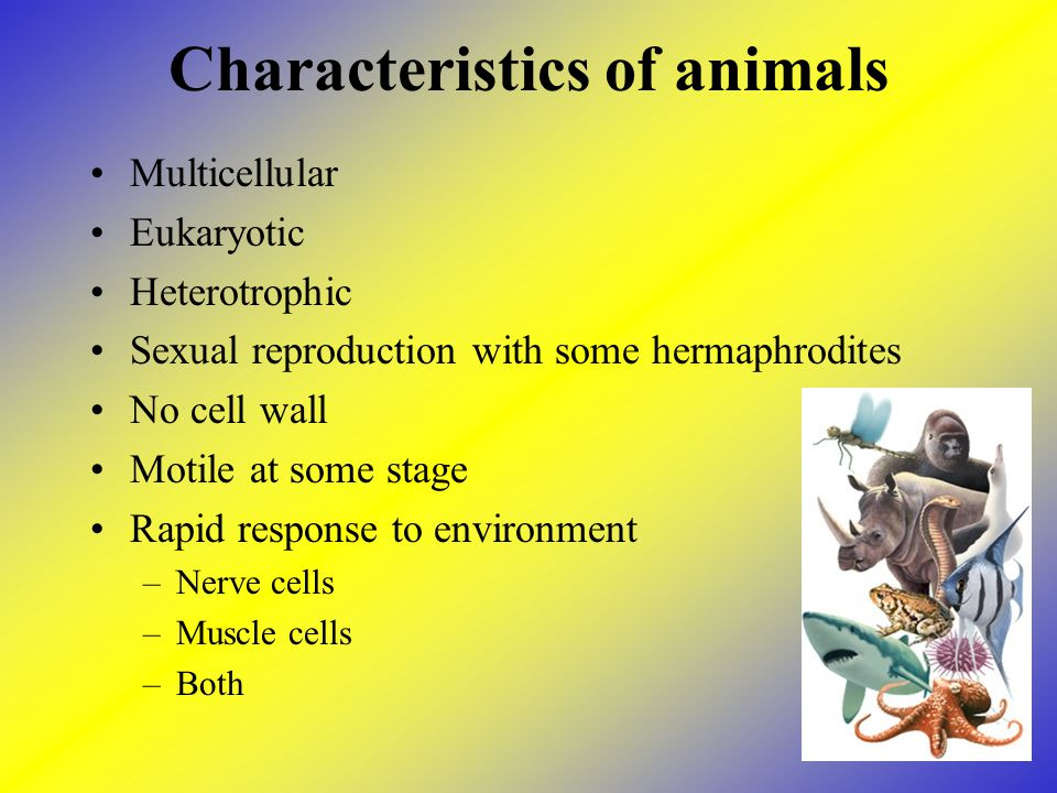 Characteristics of animals Multicellular Eukaryotic Heterotrophic Sexual reproduction with some hermaphrodites No cell wall Motile at some stage Rapid