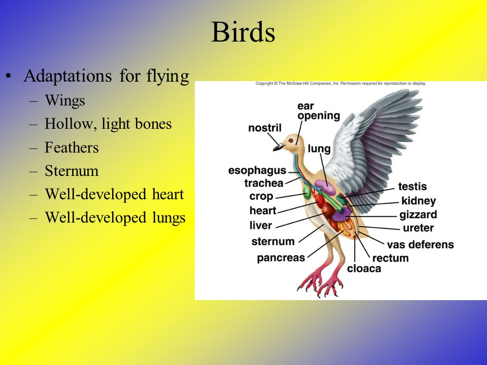 Birds Adaptations for flying –Wings –Hollow, light bones –Feathers –Sternum –Well-developed heart –Well-developed lungs