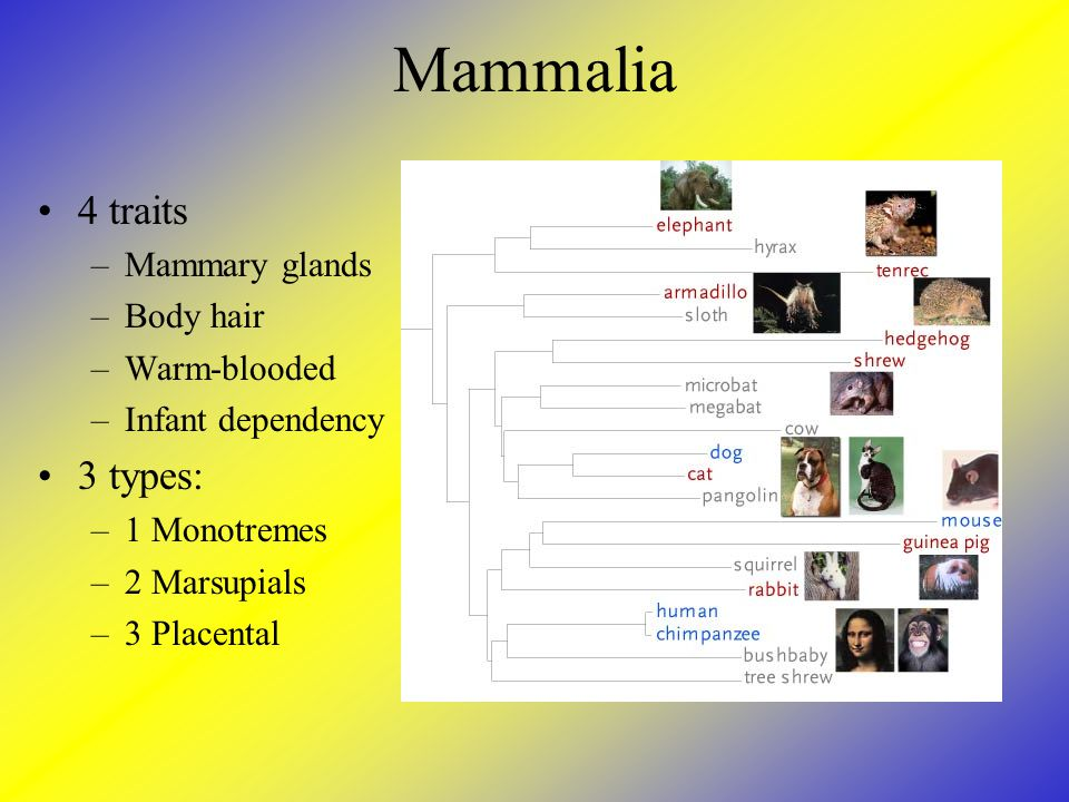 Mammalia 4 traits –Mammary glands –Body hair –Warm-blooded –Infant dependency 3 types: –1 Monotremes –2 Marsupials –3 Placental
