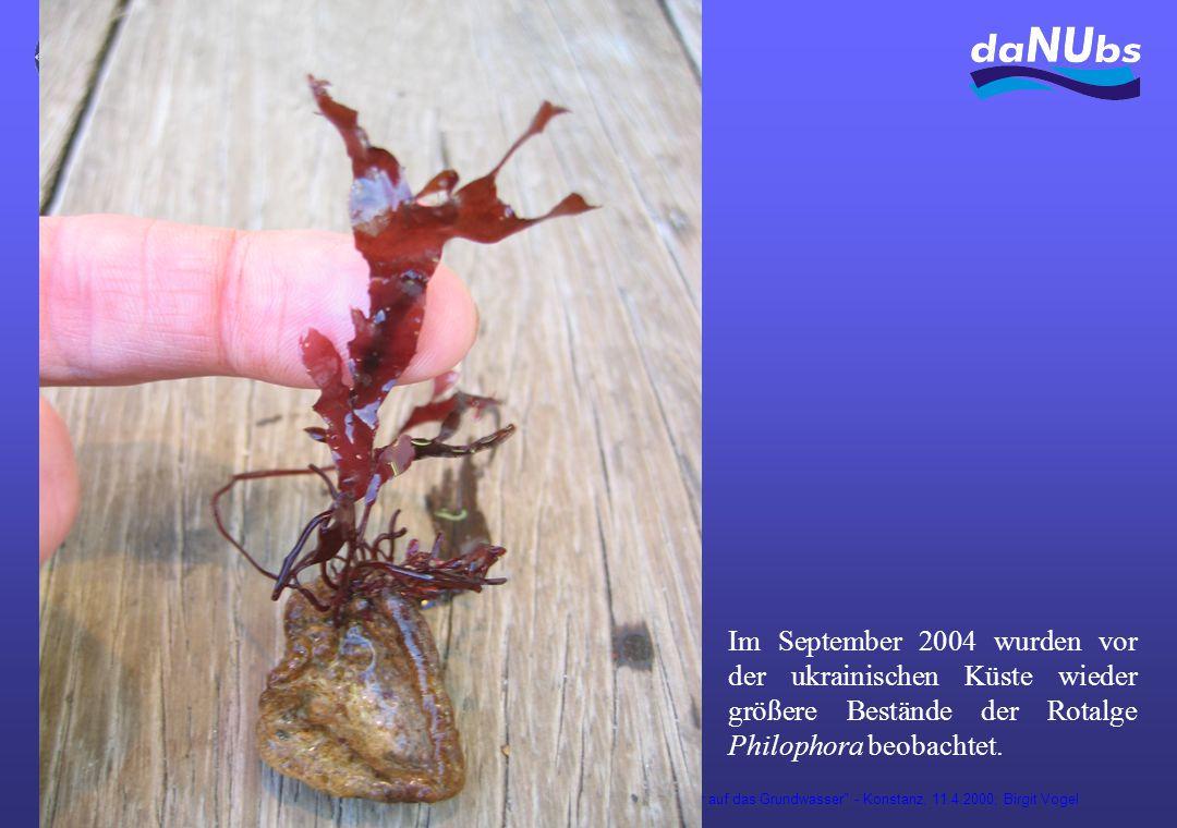 Auswirkung der Versickerung von gereinigtem Abwasser auf das Grundwasser - Konstanz, 11.4.2000; Birgit Vogel Im September 2004 wurden vor der ukrainischen Küste wieder größere Bestände der Rotalge Philophora beobachtet.