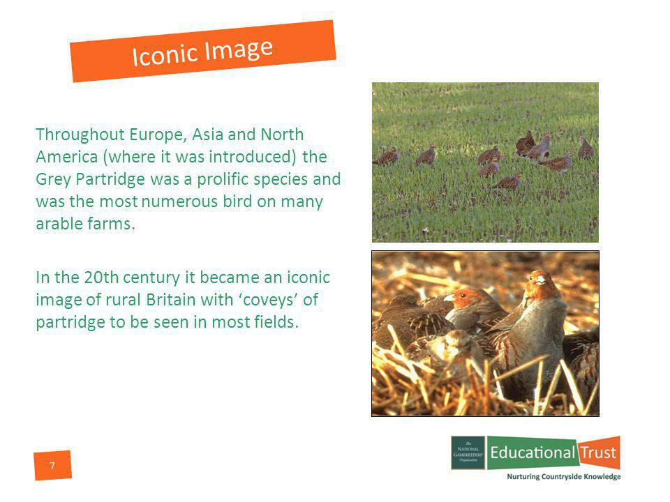 7 Throughout Europe, Asia and North America (where it was introduced) the Grey Partridge was a prolific species and was the most numerous bird on many arable farms.