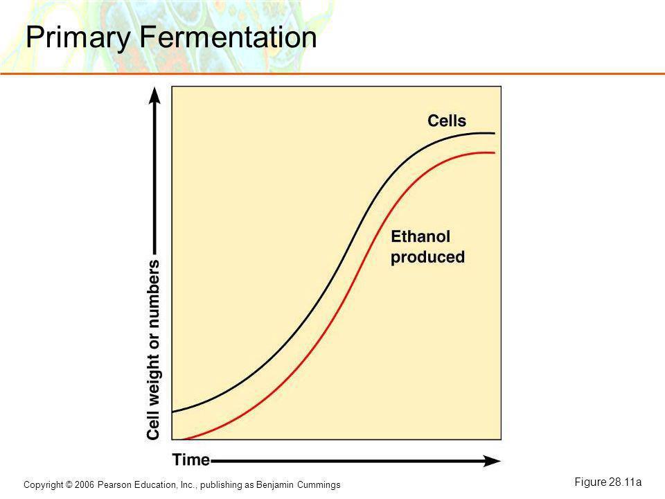 Copyright © 2006 Pearson Education, Inc., publishing as Benjamin Cummings Secondary Fermentation Figure 28.11b