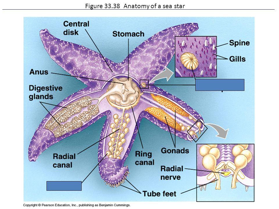 Figure 33.38 Anatomy of a sea star