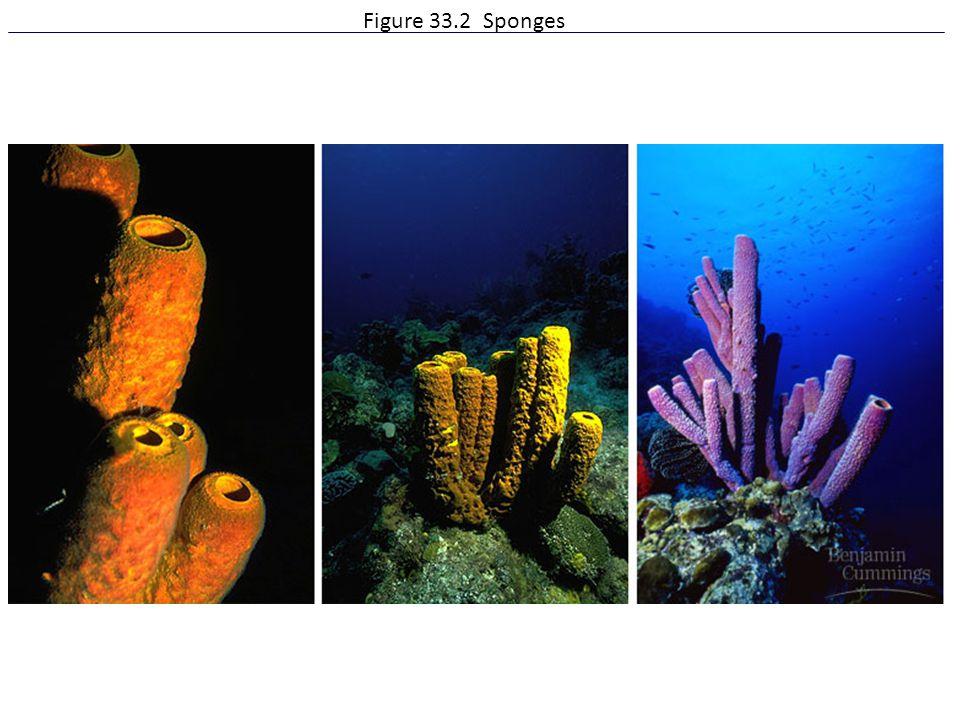 Figure 33.2 Sponges