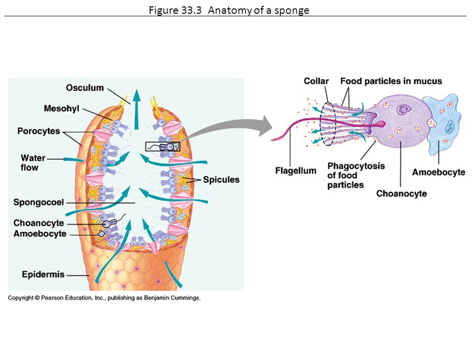 Figure 33.3 Anatomy of a sponge