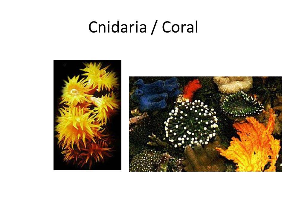 Cnidaria / Coral