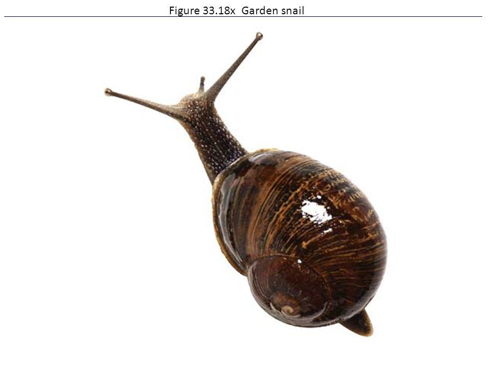 Figure 33.18x Garden snail