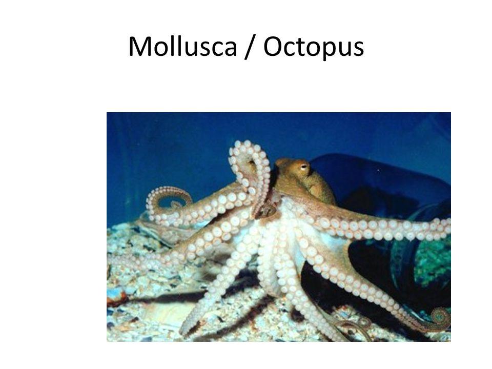 Mollusca / Octopus