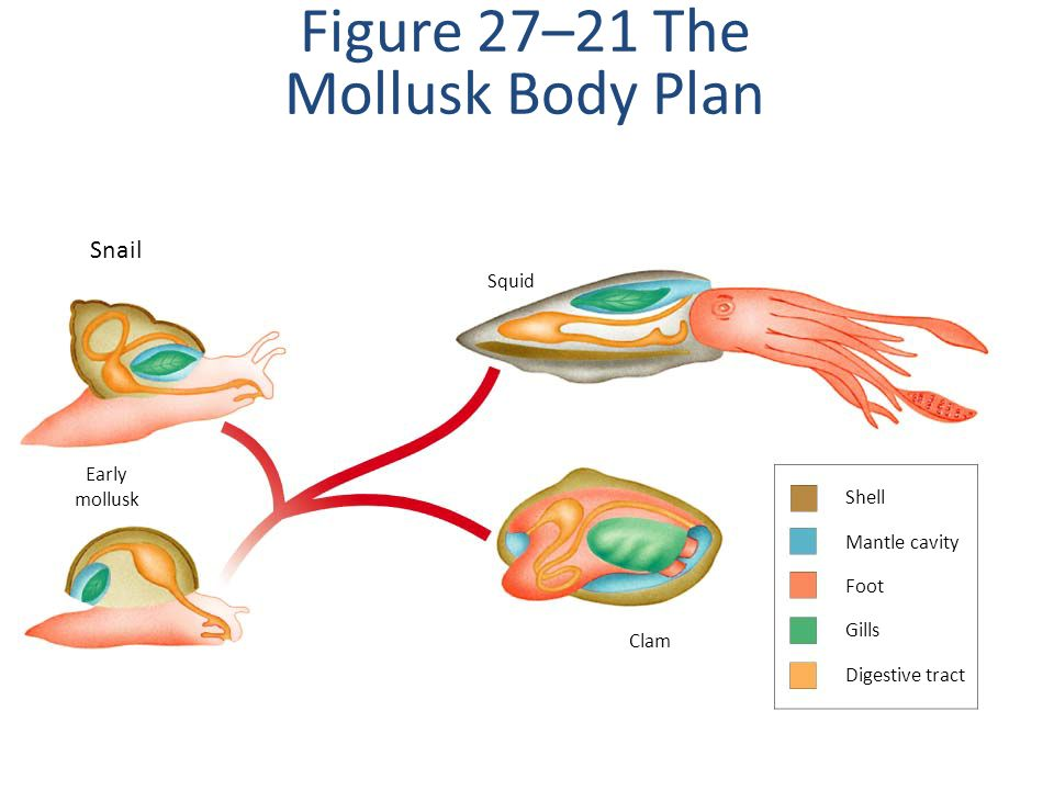 Shell Mantle cavity Foot Gills Digestive tract Early mollusk Clam Squid Figure 27–21 The Mollusk Body Plan Snail