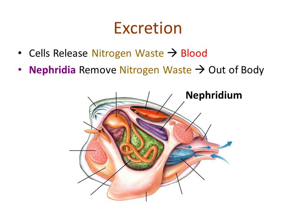 Excretion Cells Release Nitrogen Waste Blood Nephridia Remove Nitrogen Waste Out of Body Nephridium