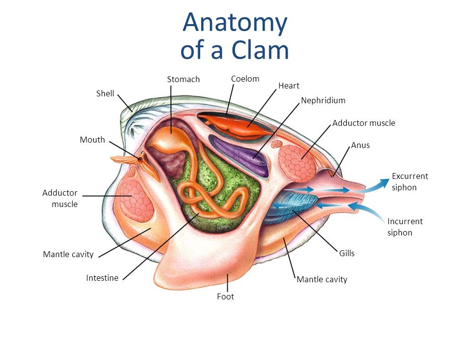 Section 27-4 Mouth Shell Stomach Coelom Heart Nephridium Adductor muscle Anus Excurrent siphon Incurrent siphon Gills Mantle cavity Foot Intestine Mantle cavity Adductor muscle Anatomy of a Clam