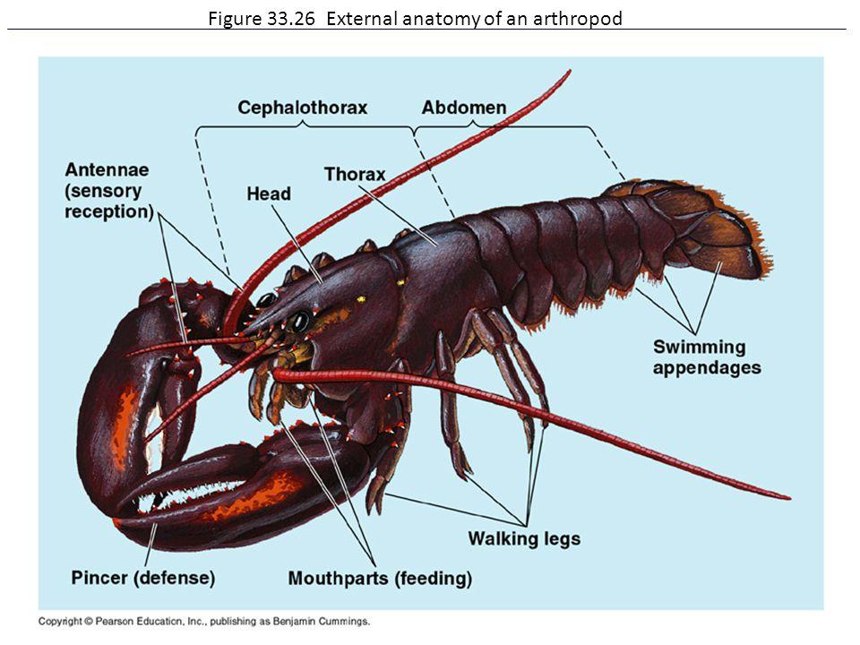 Figure 33.26 External anatomy of an arthropod