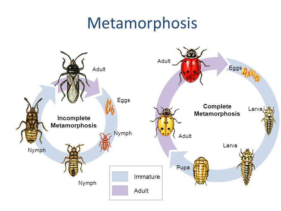 Section 28-3 Incomplete Metamorphosis Complete Metamorphosis Eggs Larva Pupa Adult Nymph Adult Eggs Larva Adult Immature Metamorphosis