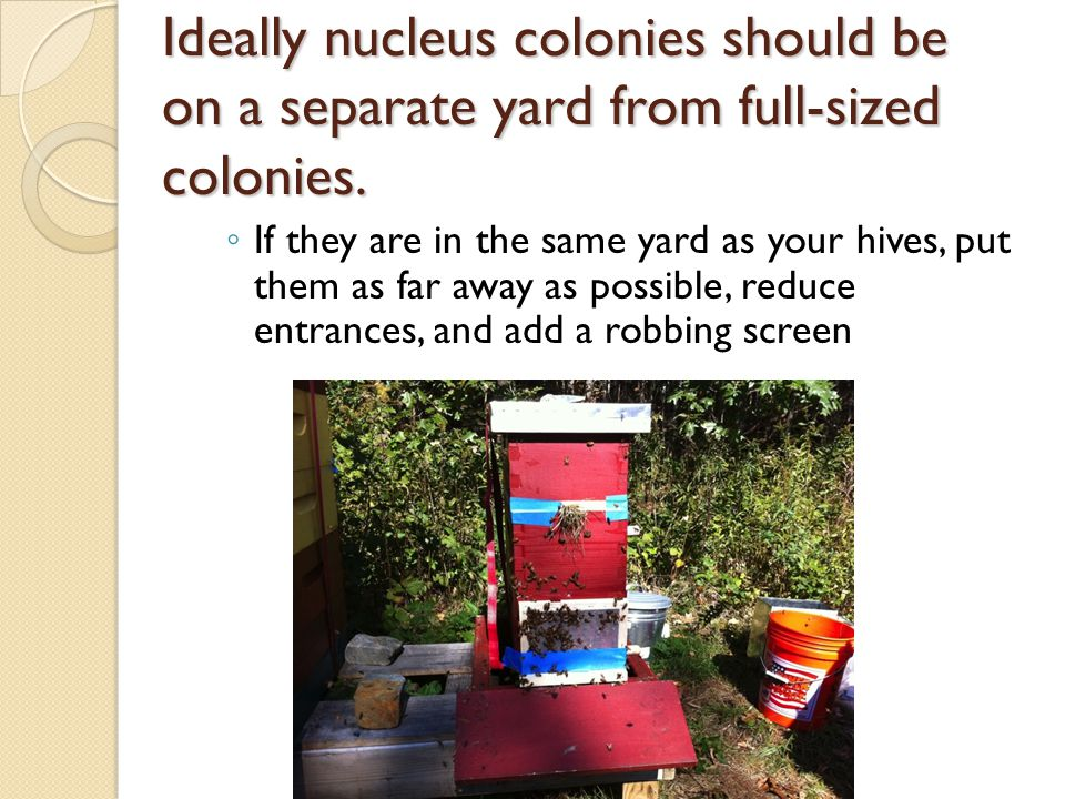 Ideally nucleus colonies should be on a separate yard from full-sized colonies. If they are in the same yard as your hives, put them as far away as po