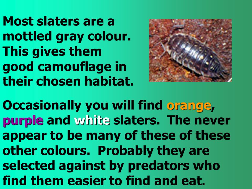 Most slaters are a mottled gray colour. This gives them good camouflage in their chosen habitat. orange purplewhite Occasionally you will find orange,