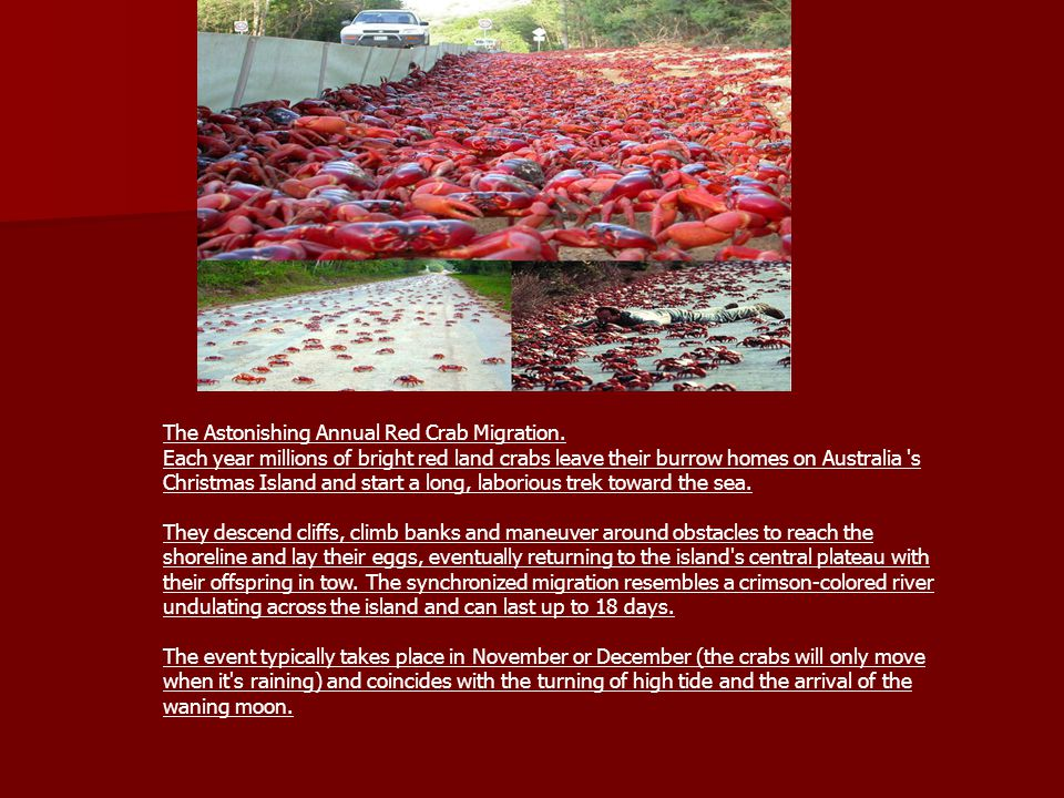 The Astonishing Annual Red Crab Migration.