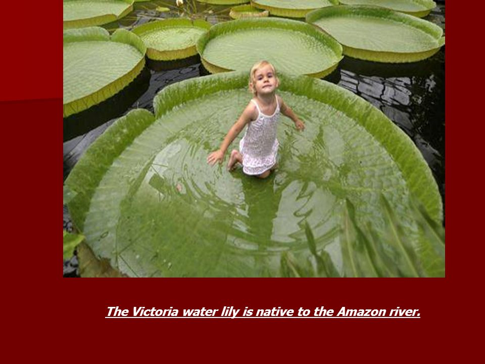 The Victoria water lily is native to the Amazon river.