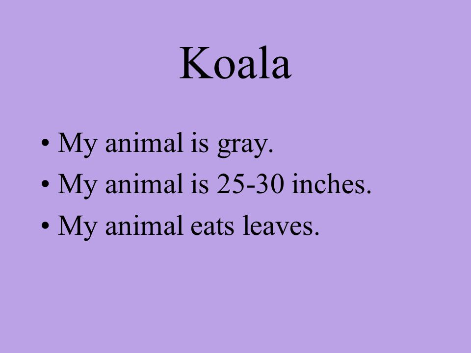 Koala My animal is gray. My animal is 25-30 inches. My animal eats leaves.