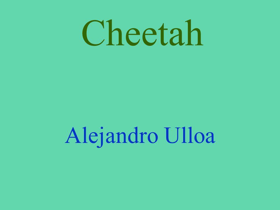 Cheetah Alejandro Ulloa