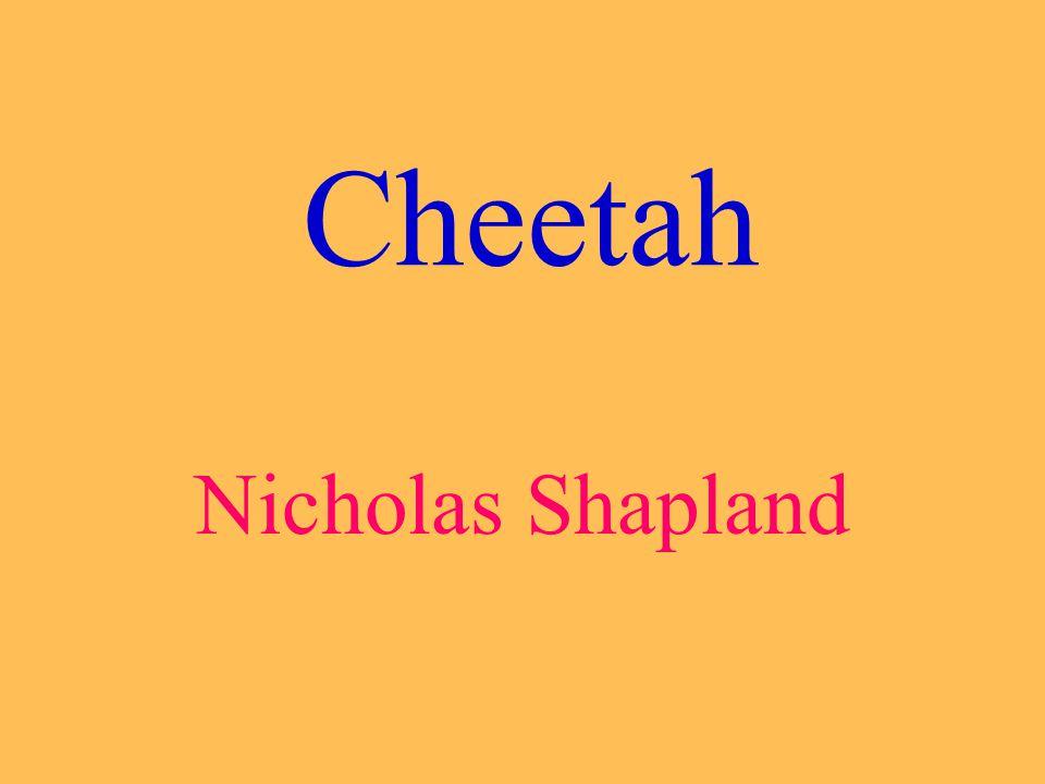 Cheetah Nicholas Shapland