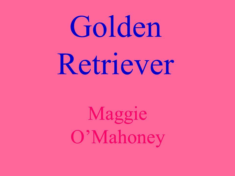 Golden Retriever Maggie OMahoney