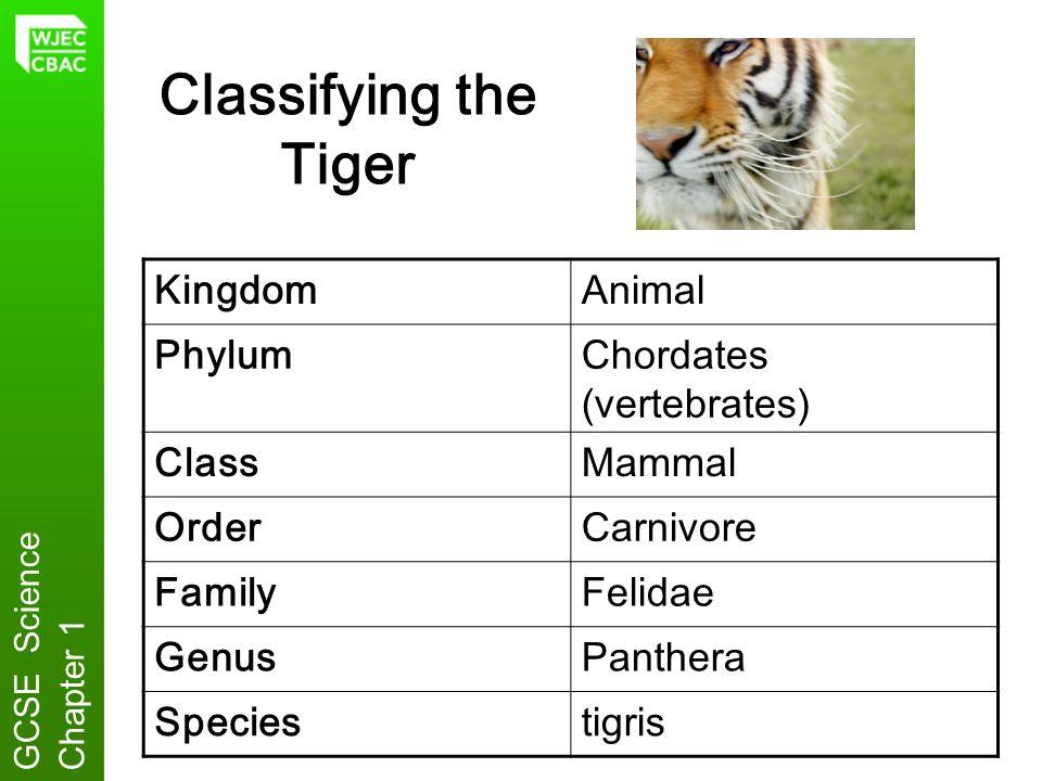 Classifying the Tiger KingdomAnimal PhylumChordates (vertebrates) ClassMammal OrderCarnivore FamilyFelidae GenusPanthera Speciestigris GCSE ScienceCha